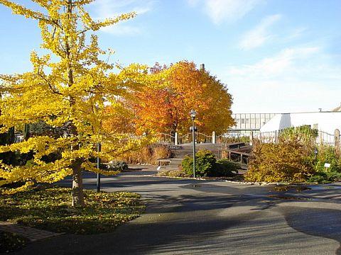 Museets trädgård Ginkoträd i höstskrud
