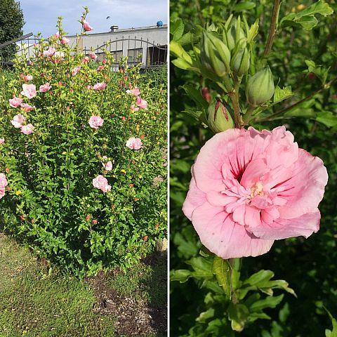 Museets trädgård Hibiscus Hyricus Pink Giant