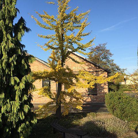 Museets trädgård Ginkoträd och museumsbyggnad