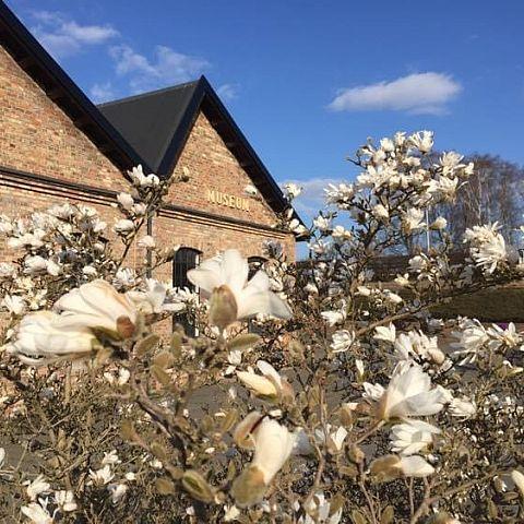 Museets trädgård Magnolia Stellata