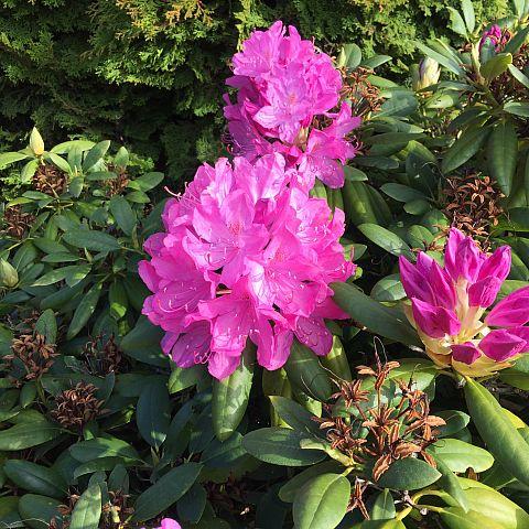 Museets trädgård Rhododendron English Roseum