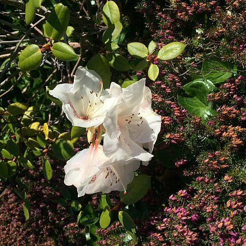 Museets trädgård Rhododendron Gartensdirektor Rieger