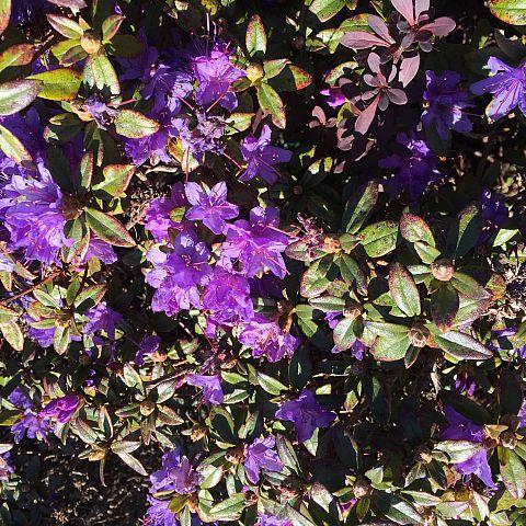 Museets trädgård Rhododendron Scarlet Wonder