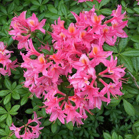 Museets trädgård Rhododendron Cecile