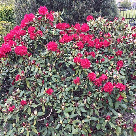 Museets trädgård Rhododendron Hachmees Feurschein